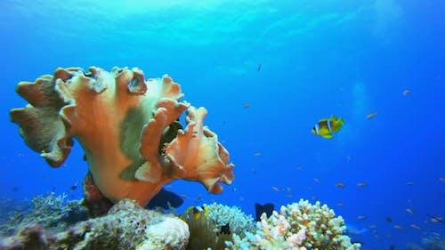 Underwater Sea Life Clownfish