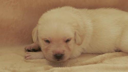 Young Yellow Labrador Puppy