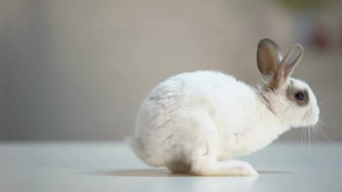 Cute Fluffy Rabbit Moving on Table, Domesticated Animal, Ecology Care, Pet