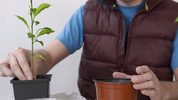 Thumbnail for Close-up of a Gardener's Hand Transplanting a Houseplant Into a Larger Pot. Transplanting Domestic