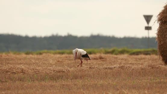 Adult European White Stork Walking In Agricultural Field In Belarus