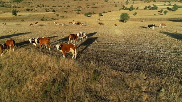 Thumbnail for Cows Grazing In Field