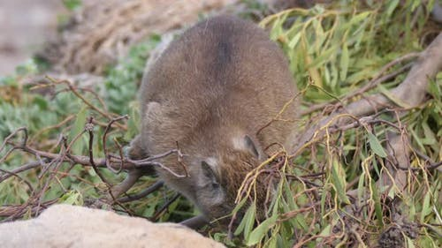 Rock hyrax eating leafs in South Africa