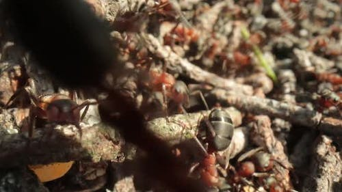 Wild Ant Hill in the Forest Super Macro Closeup Shot
