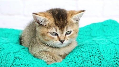 niedliches Kätzchen schottische goldene Chinchilla gerade Rasse