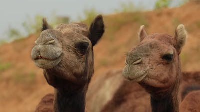 Camels at the Pushkar Fair, Also Called the Pushkar Camel Fair or Locally As Kartik Mela