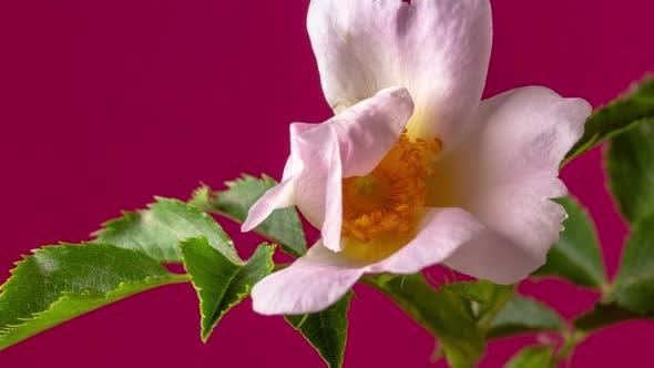 Thumbnail for Rosehip Blossom Timelapse on Red