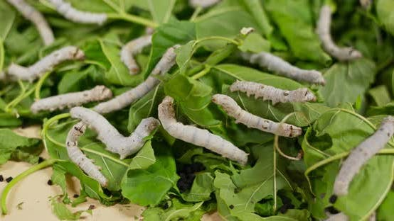 Thumbnail for Silkworms on green leaf and eating