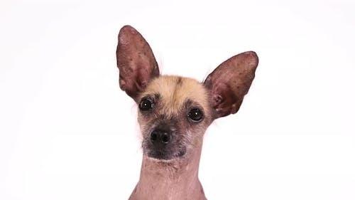 Portrait of a Purebred Xoloitzcuintli Dog