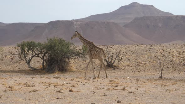 Giraffe walks away on the savanna