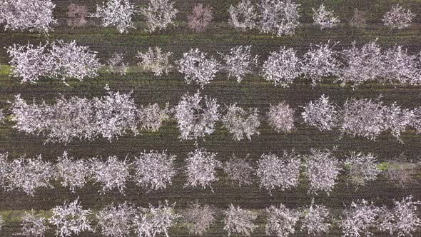 Aerial view of blossoming fruit trees