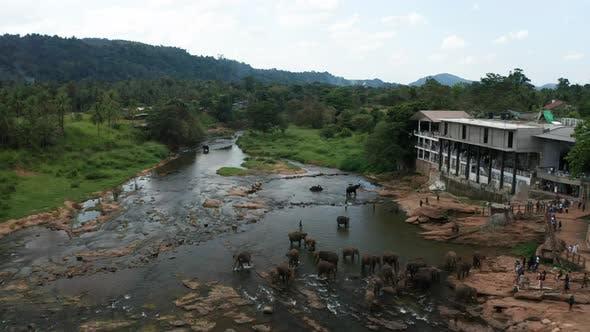 Thumbnail for Elephants Bathing in the River. Pinnawala Elephant Orphanage. Sri Lanka