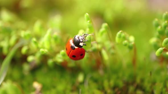 Thumbnail for Closeup Wildlife of a Ladybug in the Green Grass in the Forest