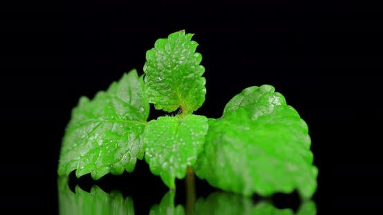 The Leaves of Fresh Mint Slowly Rotate.