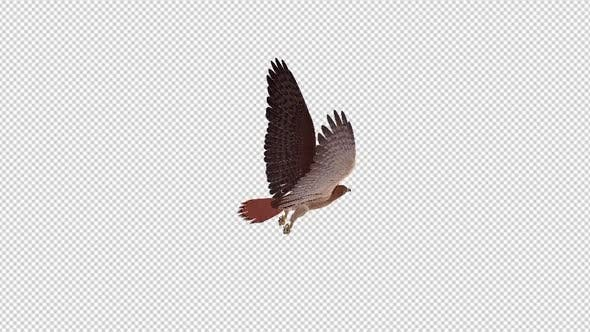 Thumbnail for Red Tail Hawk - 4K Flying Loop - Back Angle