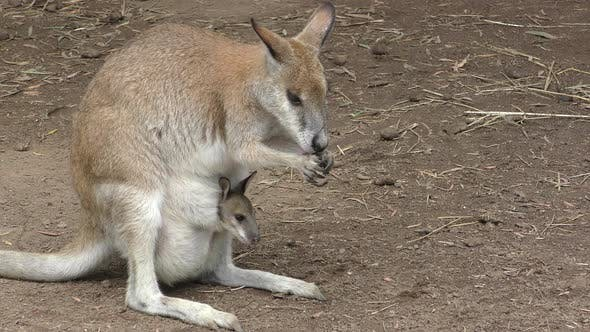 Thumbnail for Red Kangaroo Female Adult Young Joey Family Grooming Cleaning Licking