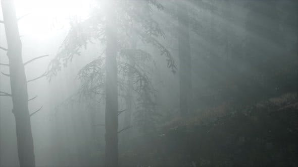 Thumbnail for Misty Spring Morning in Pine Tree Forest