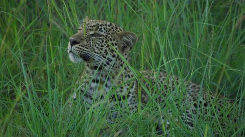 A focused leopard