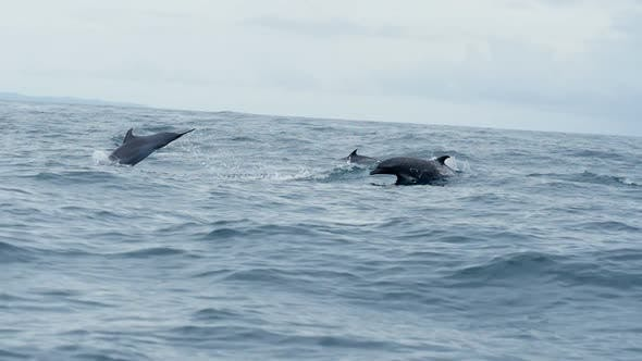 Thumbnail for Group of Dolphins Swimming in Tropical Waters