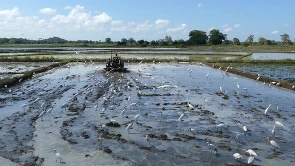 Thumbnail for Egrets at a paddy field while a farmer is working on a tractor
