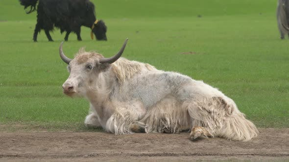 Horned White Yak is Sitting in the Green Meadow