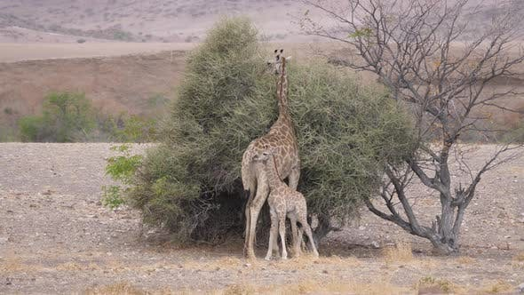 Thumbnail for Mother and baby giraffe around a bush on a dry savanna