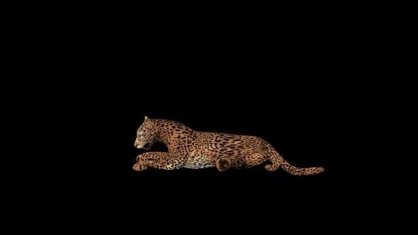 Cougar Sit