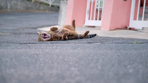 Cat Yawning and Lying on the Street