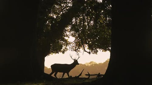 Silhouette of Male Red Deer Stag (cervus elaphus) and its antlers during bright orange sunset in the