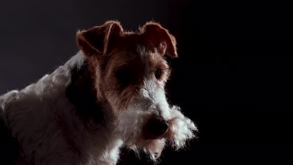 Profile Portrait of the Muzzle of a Dog Fox Terrier Breed in a Dark Studio on a Black Background