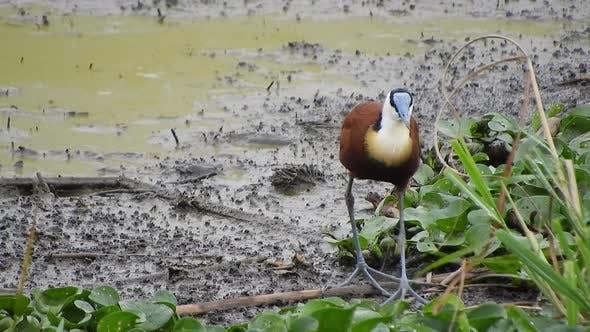 African Jacana in Wetland Swamp