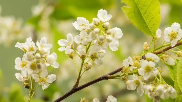 Thumbnail for Close Up of White Flowers of Bird Cherry Tree Blooming Fast in Spring Grow