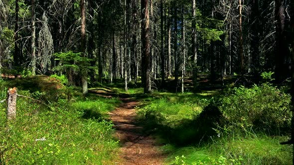 Thumbnail for Pathway in Forest (Trees) - Sunny Day
