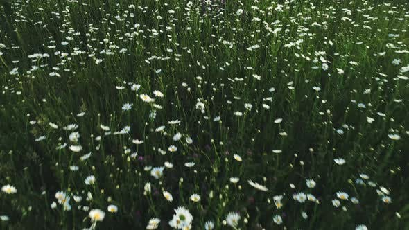 Field With White And Blue Flowers