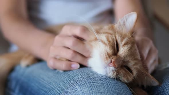 Cute Ginger Cat Sleeping on Knees. Fluffy Pet Dozing , Woman in Torn Jeans Strokes Her Pet. Cozy