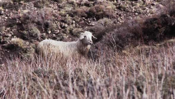 Thumbnail for A Lonely Sheep in the Field. Zoom In.