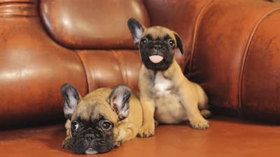 Two Young French Bulldog Dog Puppy Puppies Sitting On Red Sofa Indoor