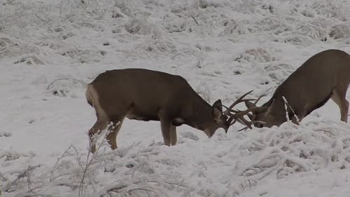 Mule Deer Buck Male Adult Pair Playing Play Sparring in Autumn Snow Pushing Antlers Play Fight