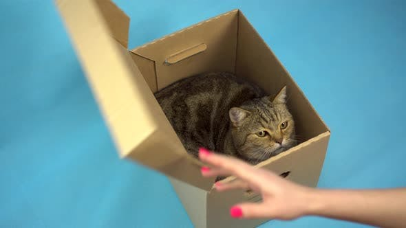 Thumbnail for British Cat Is Sitting in a Cardboard Box. Woman Opens a Box with a Pet on a Blue Background.