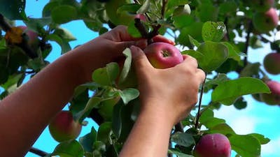 Hand Picks a Ripe Big Apple From a Tree Branch