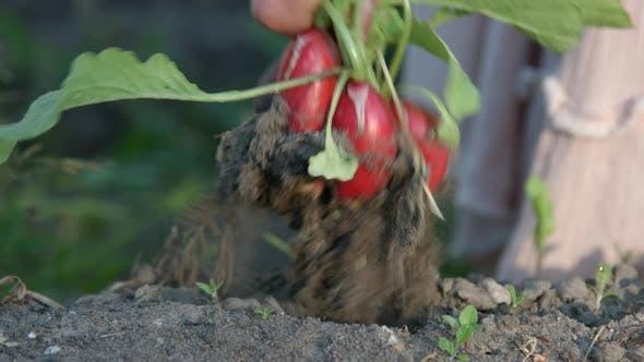 Thumbnail for Picking Radish