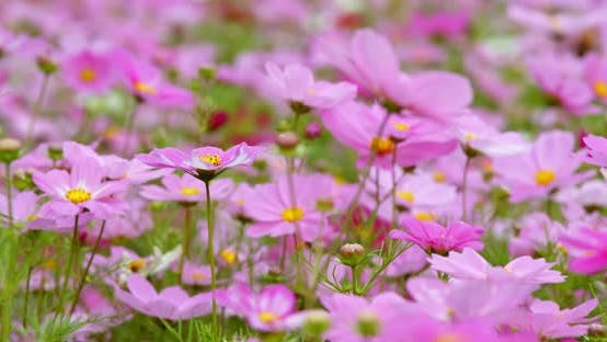 Cosmo flower plant