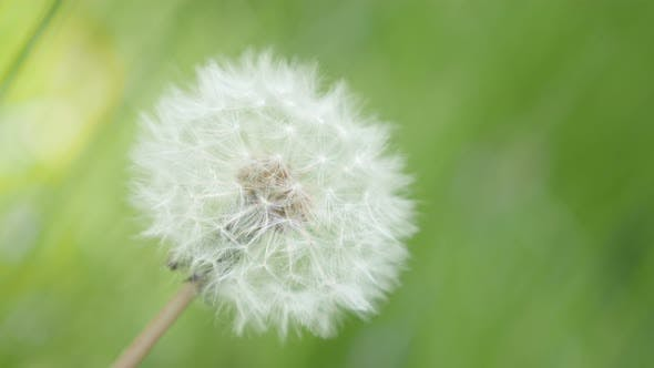 Thumbnail for Close-up of blowball Taraxacum flower in  green natural background 4K 3840X2160 UHD footage - Lonely