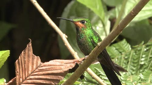 Green-crowned Brilliant Hummingbird Immature in Costa Rica