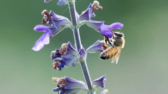 Thumbnail for A Worker bee collects nectar from Violet Flower
