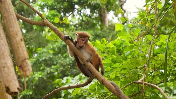 Thumbnail for Video of Wild Monkey Climbing on the Tree and Eating Fruits in Jungle Rainforest