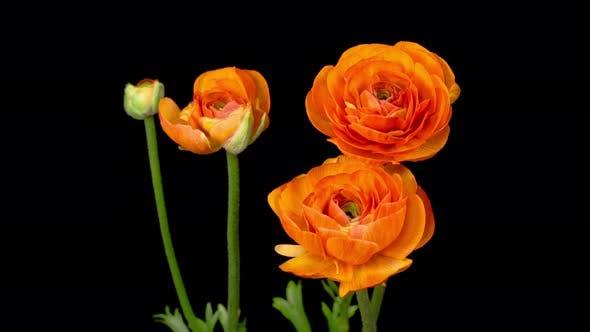 Thumbnail for Time Lapse of Opening Orange Ranunculus Asiaticus Flower