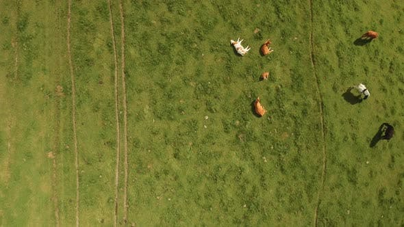 Thumbnail for Top View of a Cattle Herd Resting on Lush Green Pastures