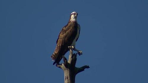 Osprey Adult Lone Perched in Spring Snag Blue Sky Talon in South Dakota