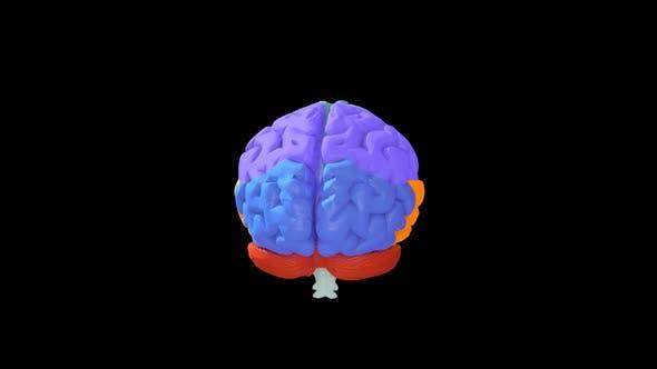 Thumbnail for Human Brain Parts